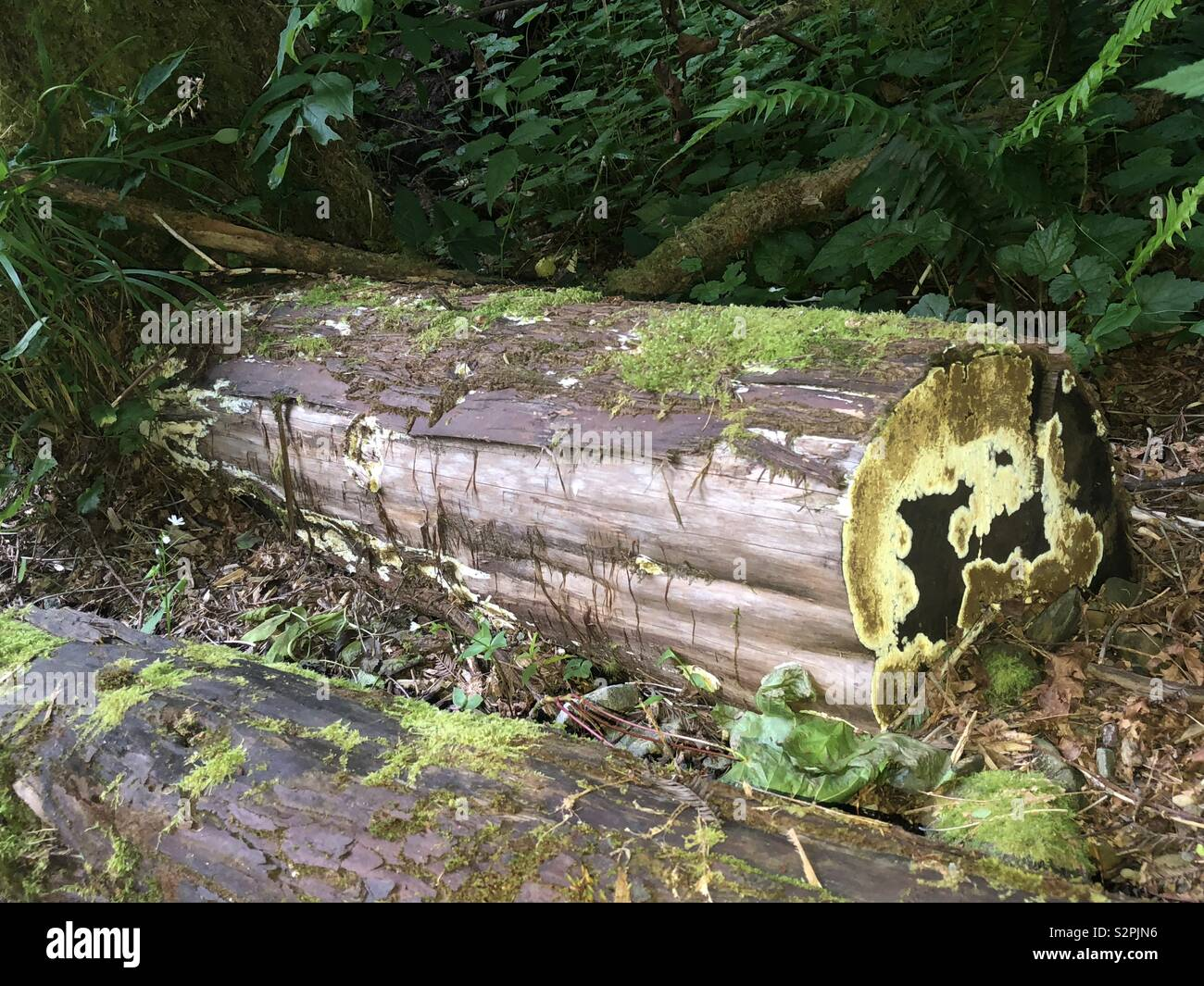 Log in the reedwoods - Stock Image