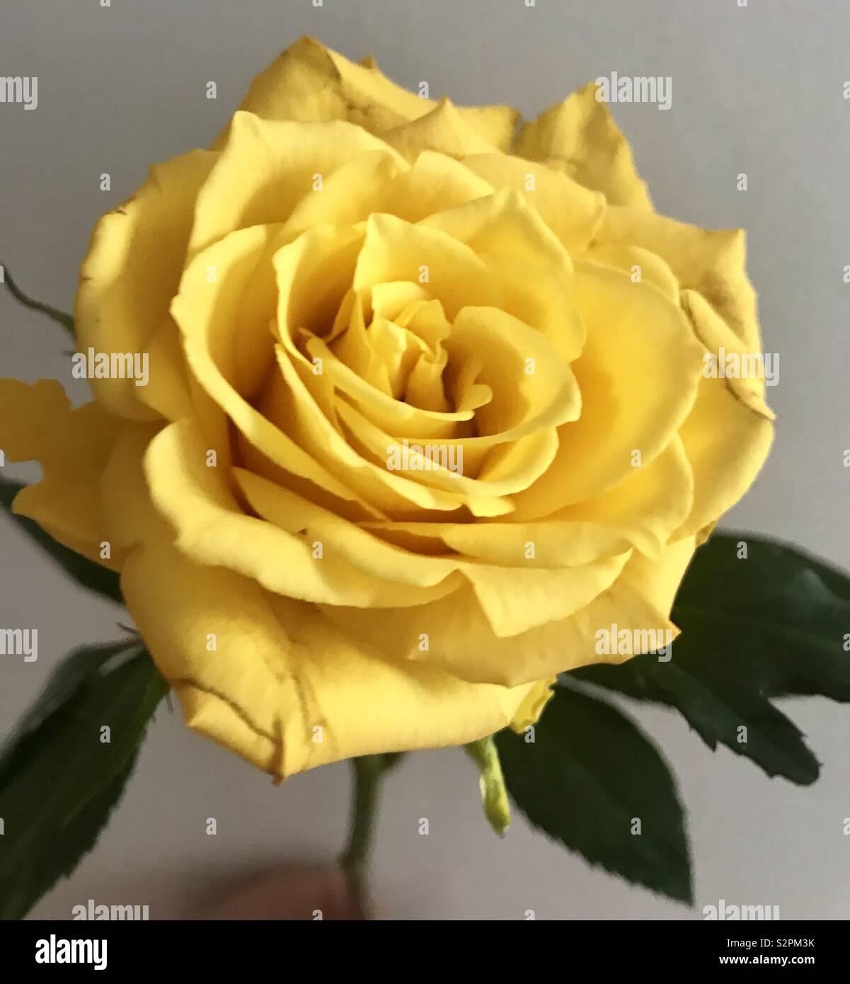 Beautiful yellow rose - Stock Image