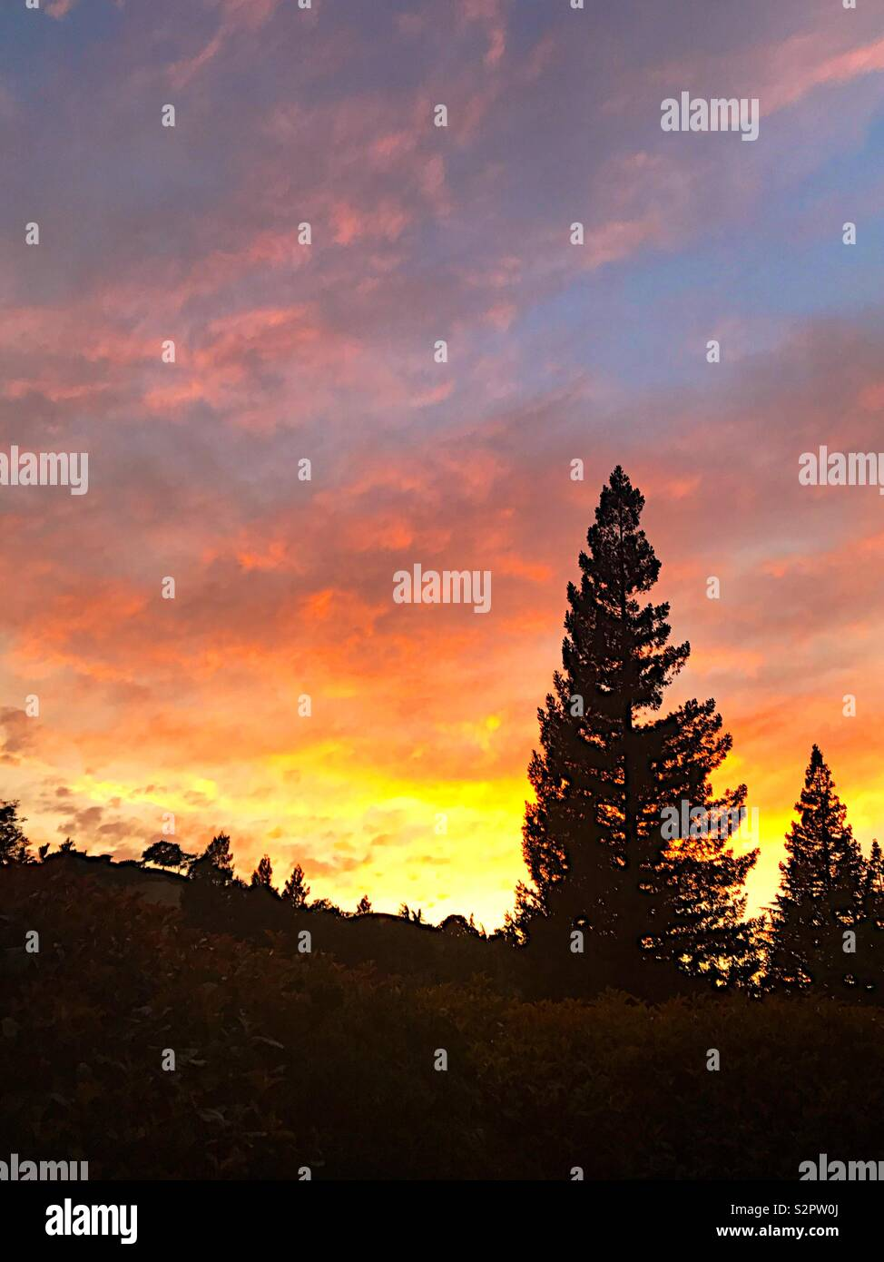 Pink sunset clouds over redwoods - Stock Image