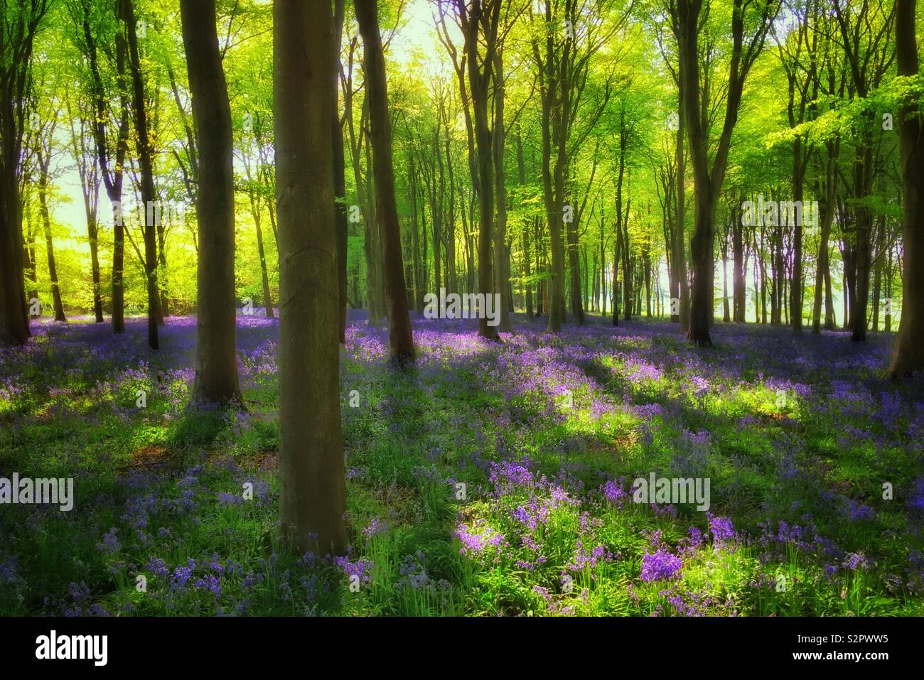 An atmospheric and feel good image of an British Woodland on Spring. The iconic Bluebell flowers (Hyacinthoides Non-Scripta) are in full bloom. Photo © COLIN HOSKINS. - Stock Image