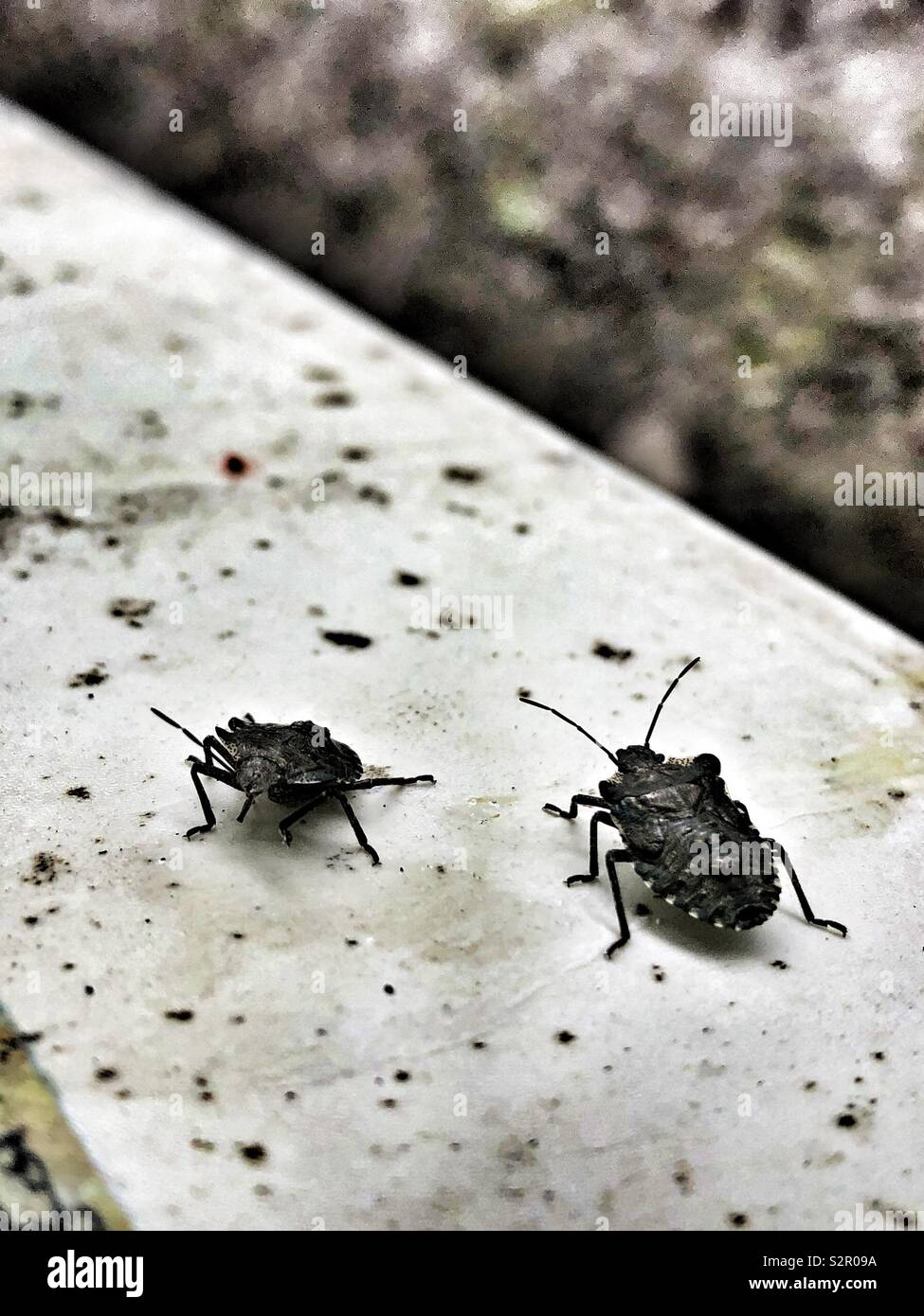 Two Beetles On A Window Sill Stock Photo 311521094 Alamy