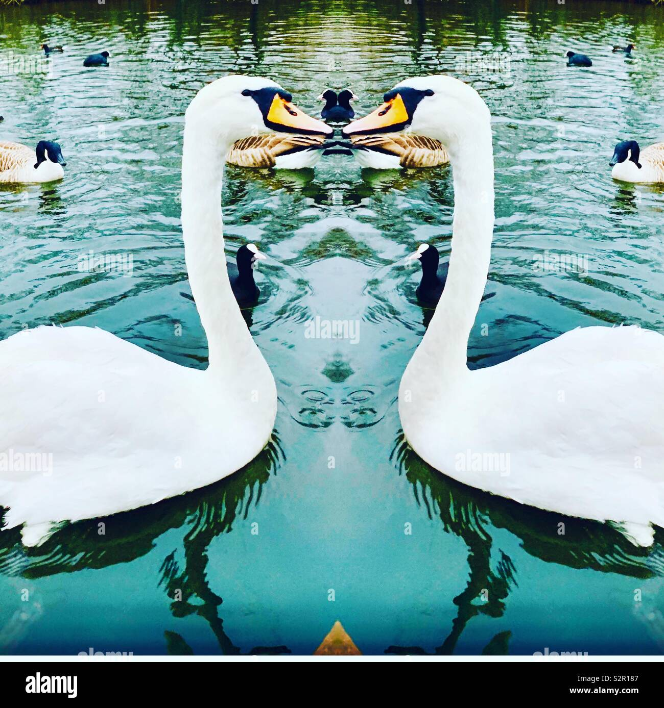 Kissing swans - Stock Image