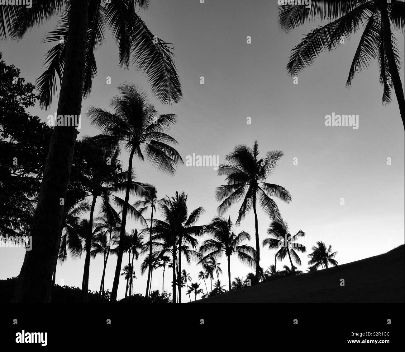 Grove of coconut Palm trees in black and white Stock Photo