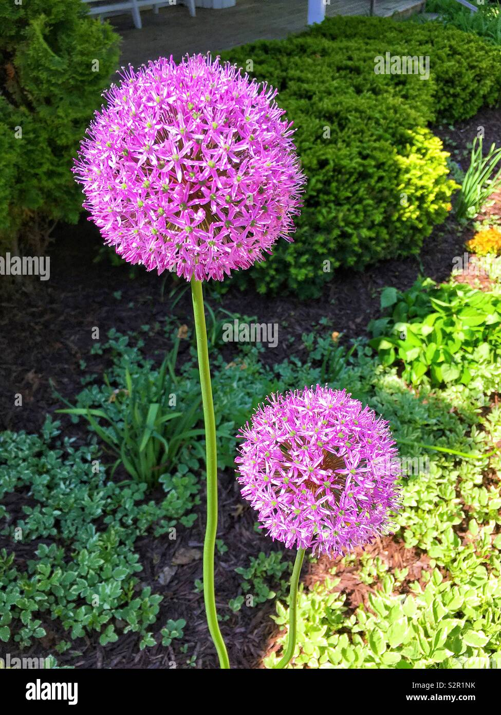 Purple giant allium flowers against greenery - Stock Image