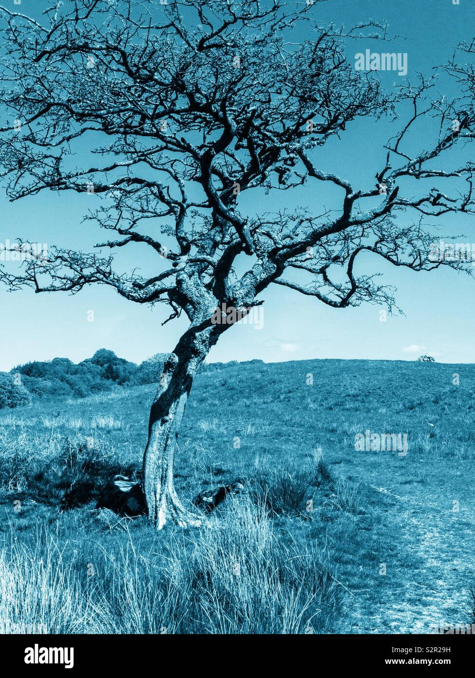 Lone hawthorn tree in winter with cloudless sky. - Stock Image