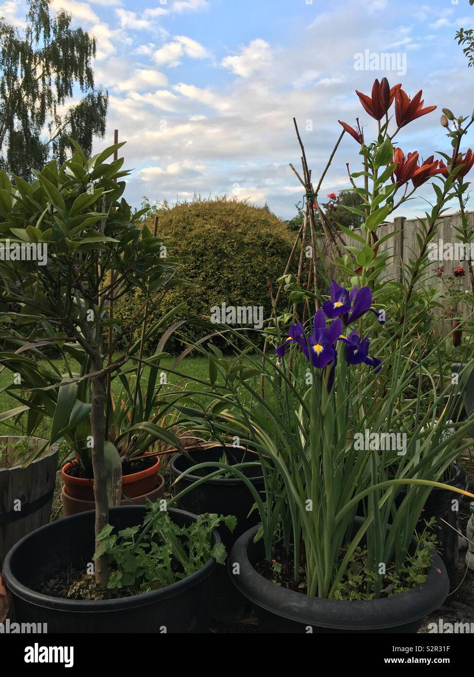 Pot plants, iris and lily, against and evening skyscape - Stock Image