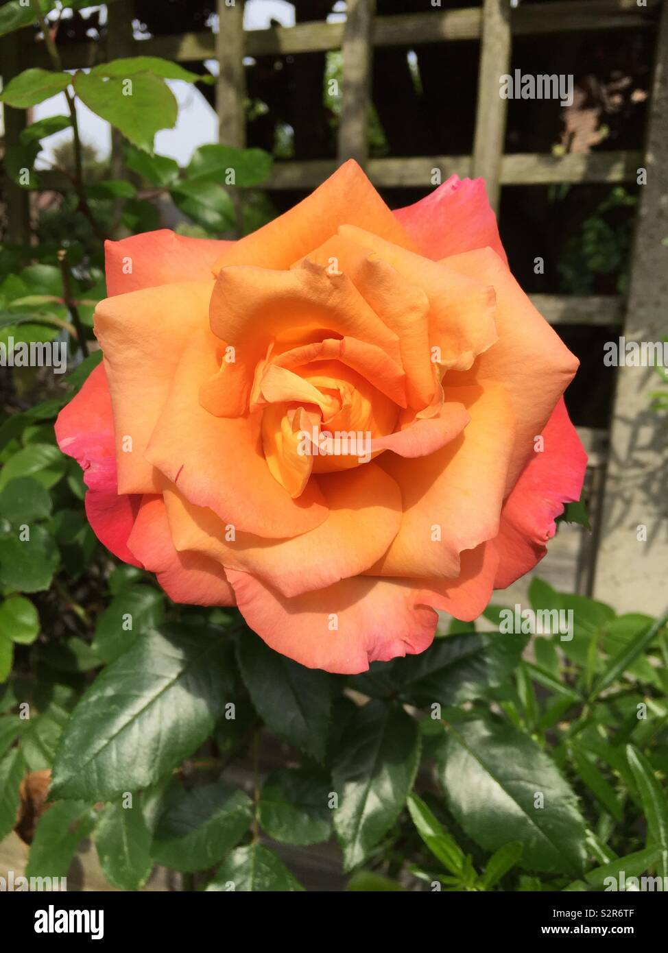 Peach garden rose - Stock Image