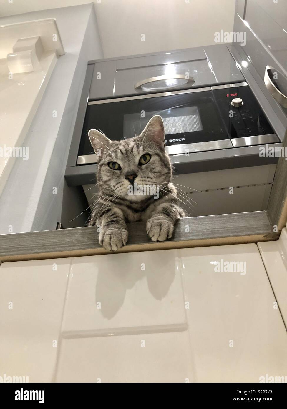 Cat, British Shorthaired Silver Tabby - Stock Image