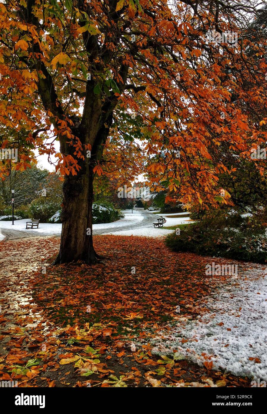 Vivid autumn colours contrast with the first sprinkling of snow in Valley Gardens Harrogate - Stock Image