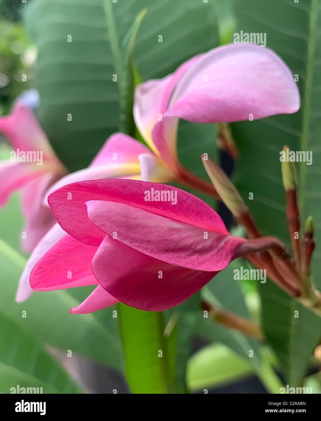 Petals of a pink plumeria before opening - Stock Image