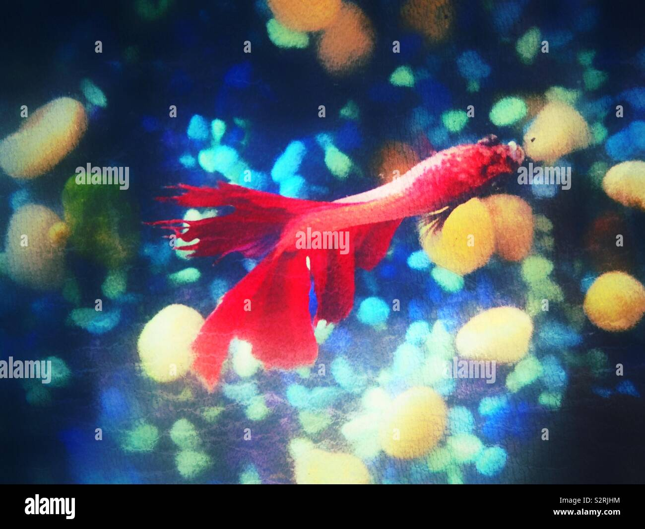 Textured image from above of red Betta fish Stock Photo