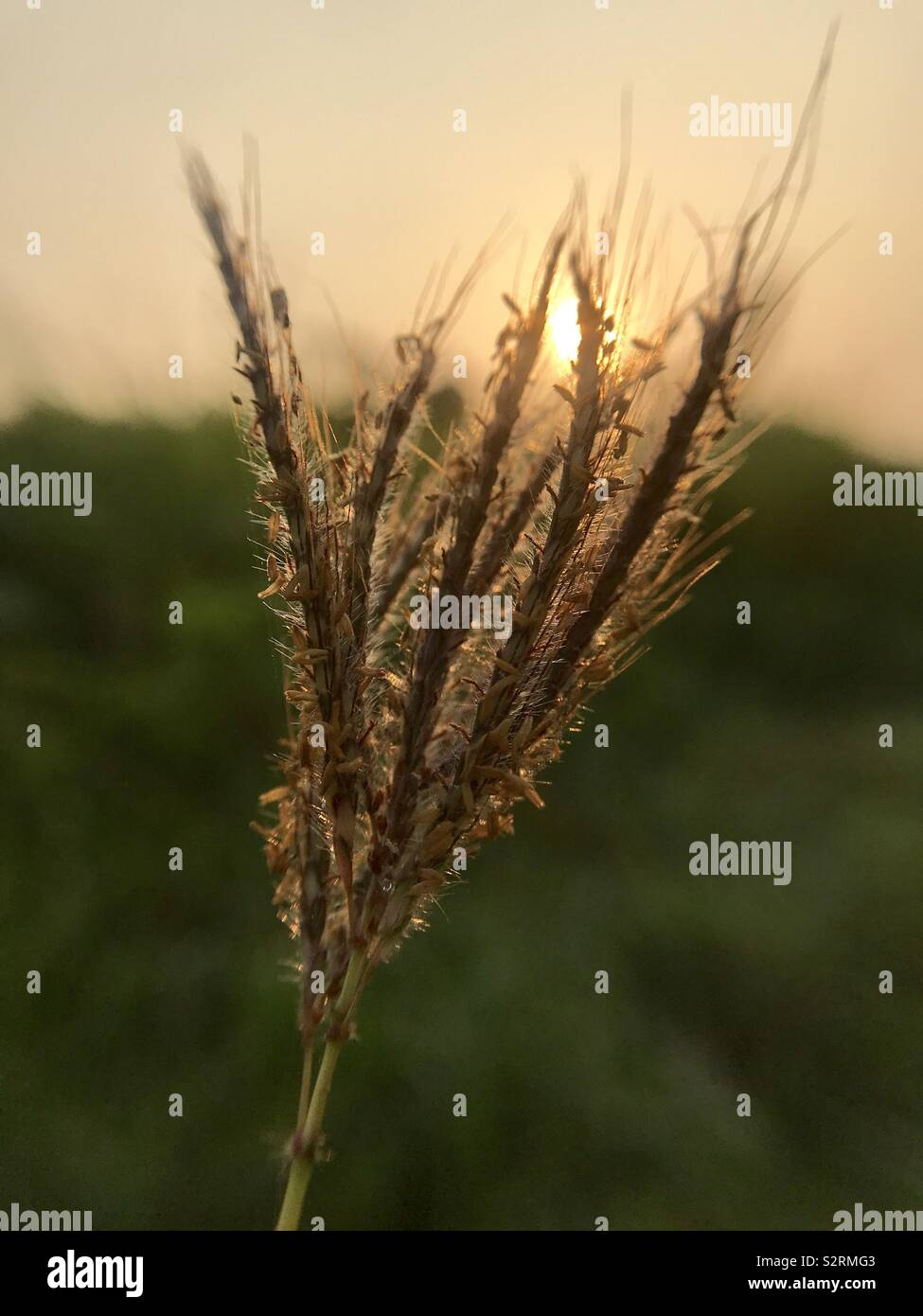 brown grass in the morning - Stock Image