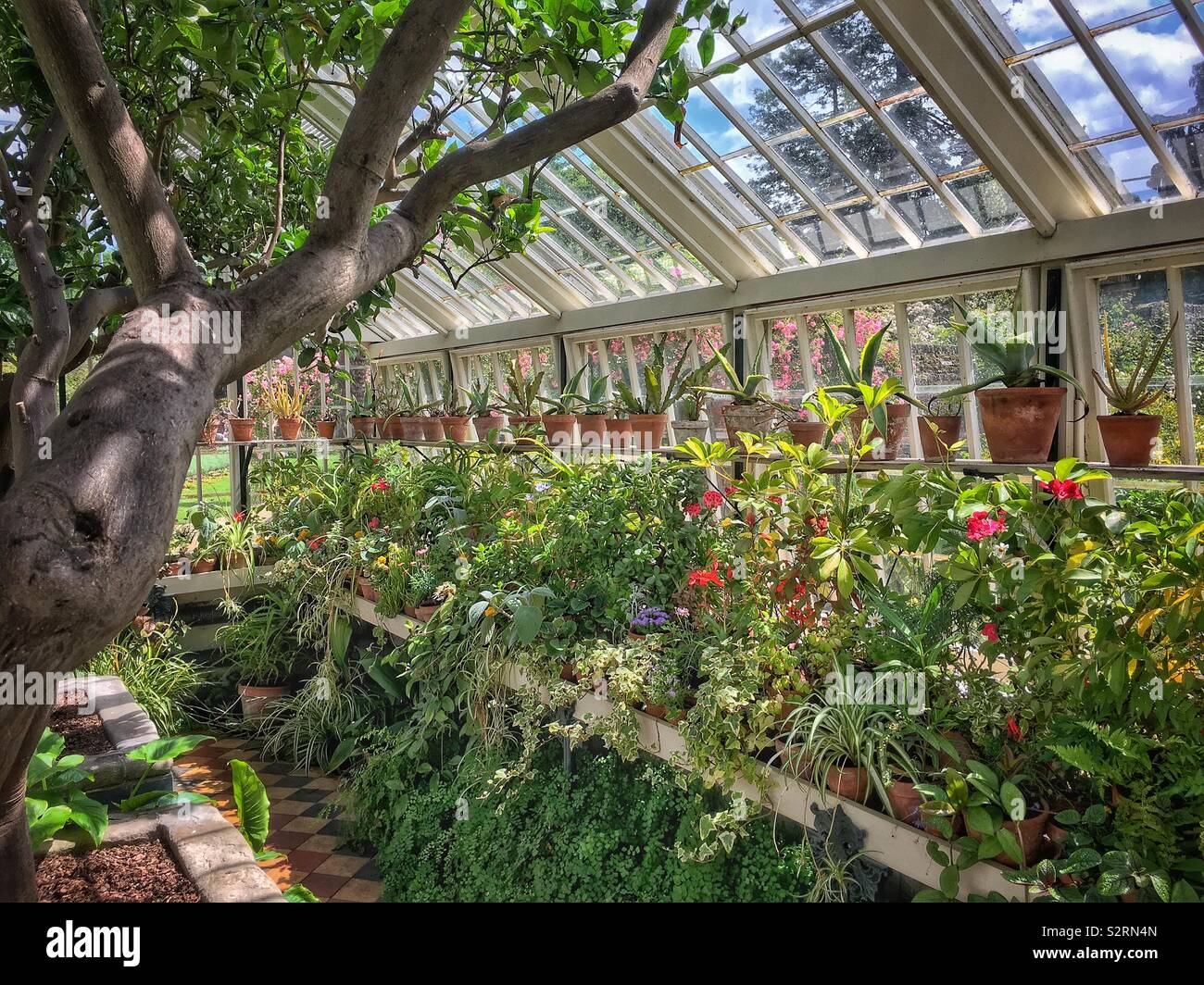 Interior of an English greenhouse crammed with pot plants. - Stock Image