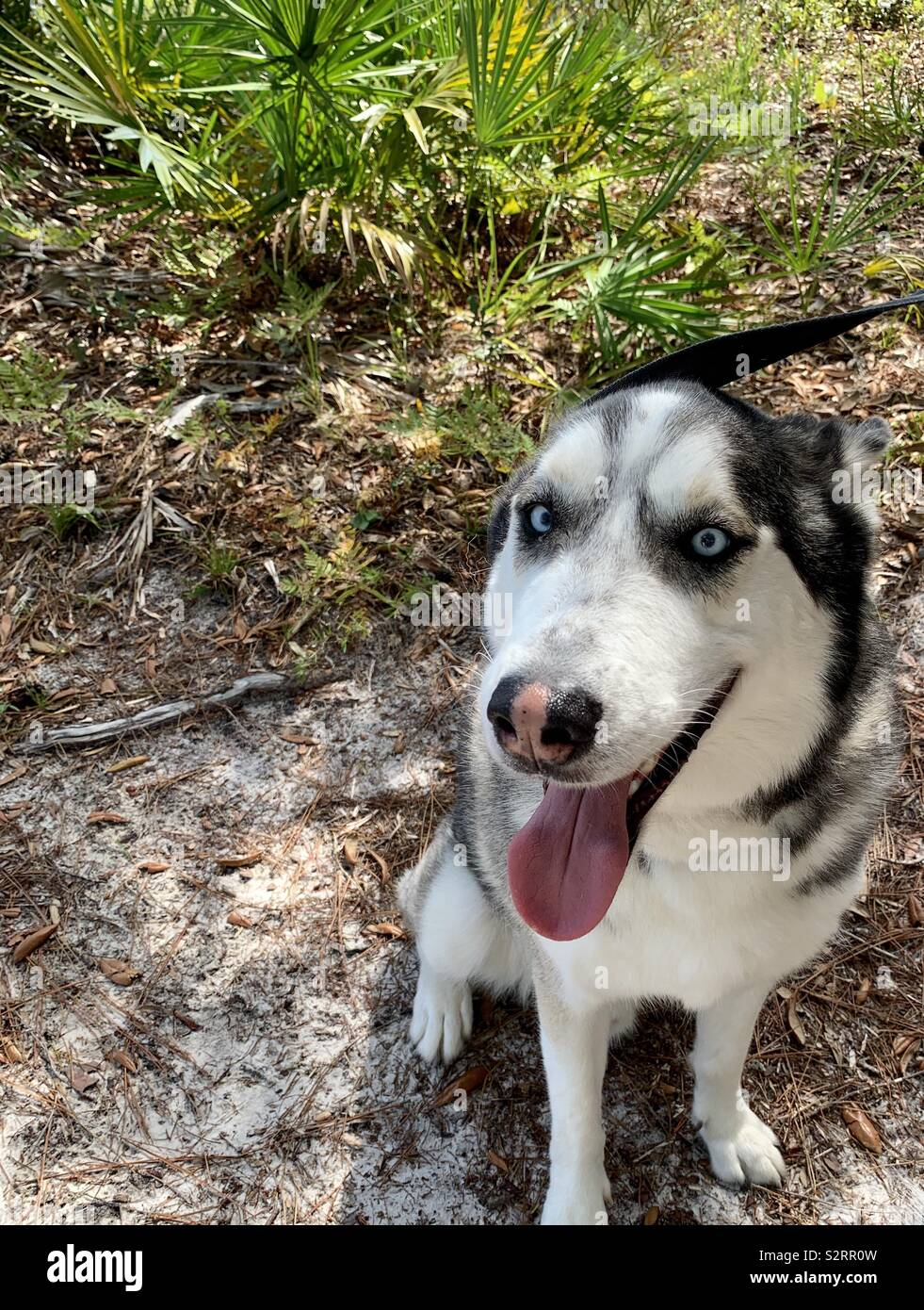 Siberian husky with beautiful blue eyes smiling for his picture - Stock Image