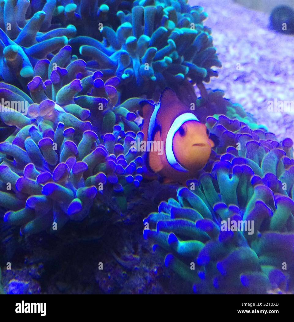 Clown fish - Stock Image