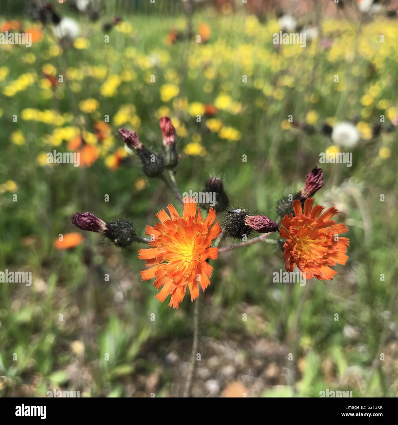 Wildflowers in the urban environment - Stock Image