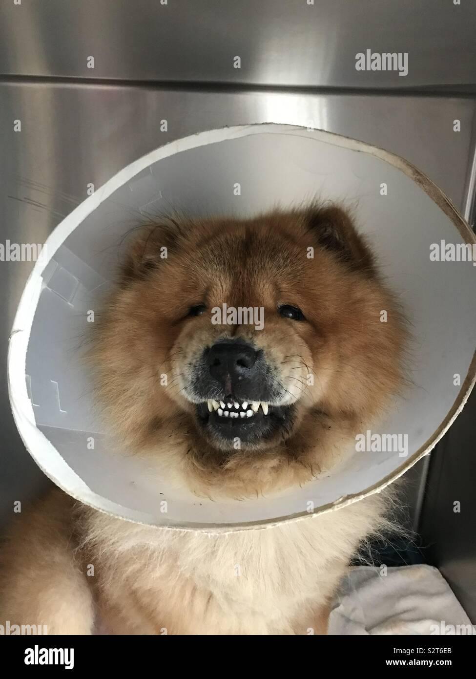 Chow Chow Dog Stock Photos & Chow Chow Dog Stock Images - Alamy