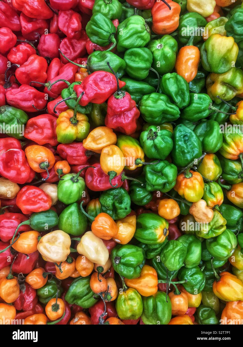 Variety of farm fresh spicy red, orange, yellow, and green habanero peppers. Stock Photo
