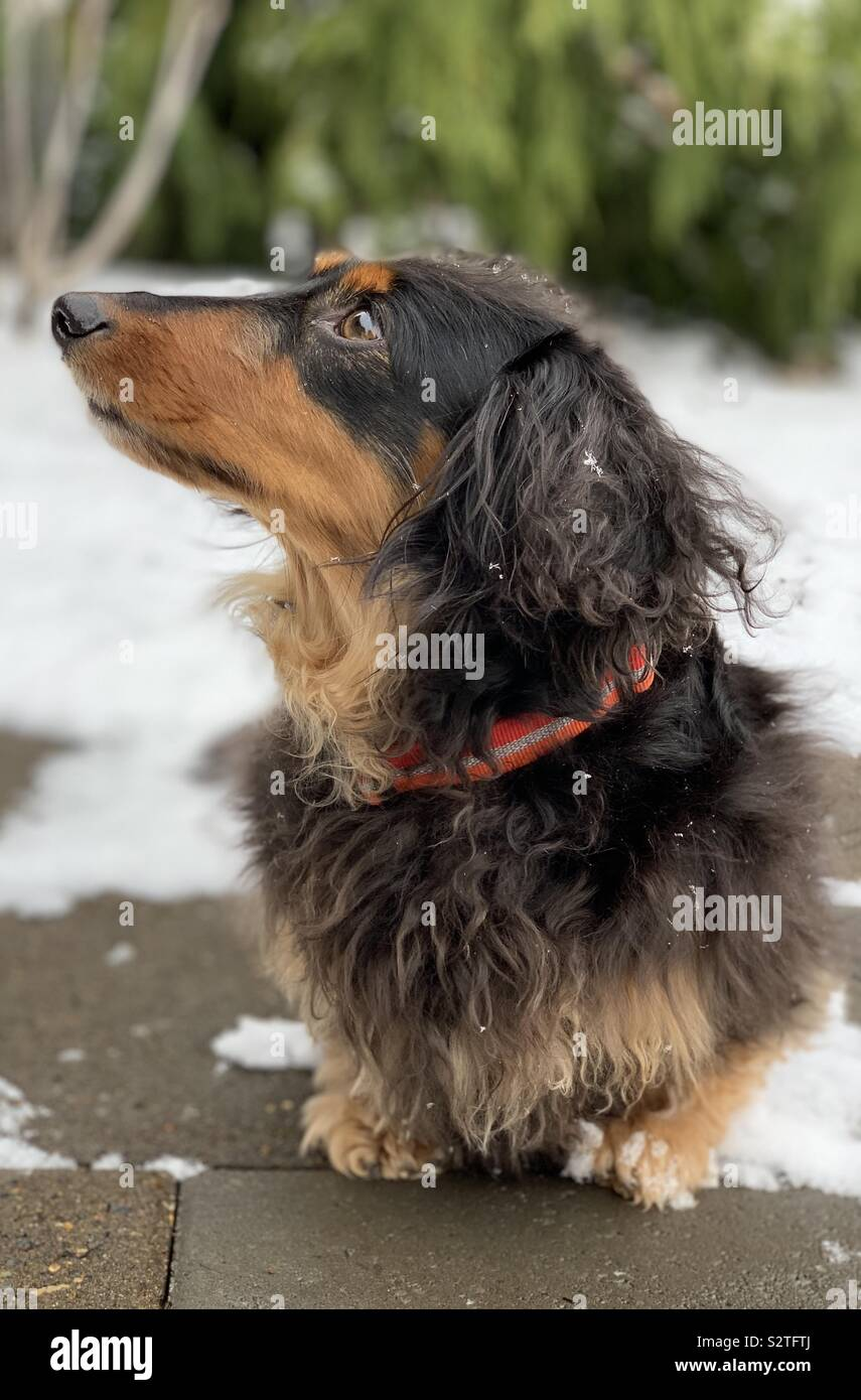 Darwin the miniature longhaired dachshund Stock Photo