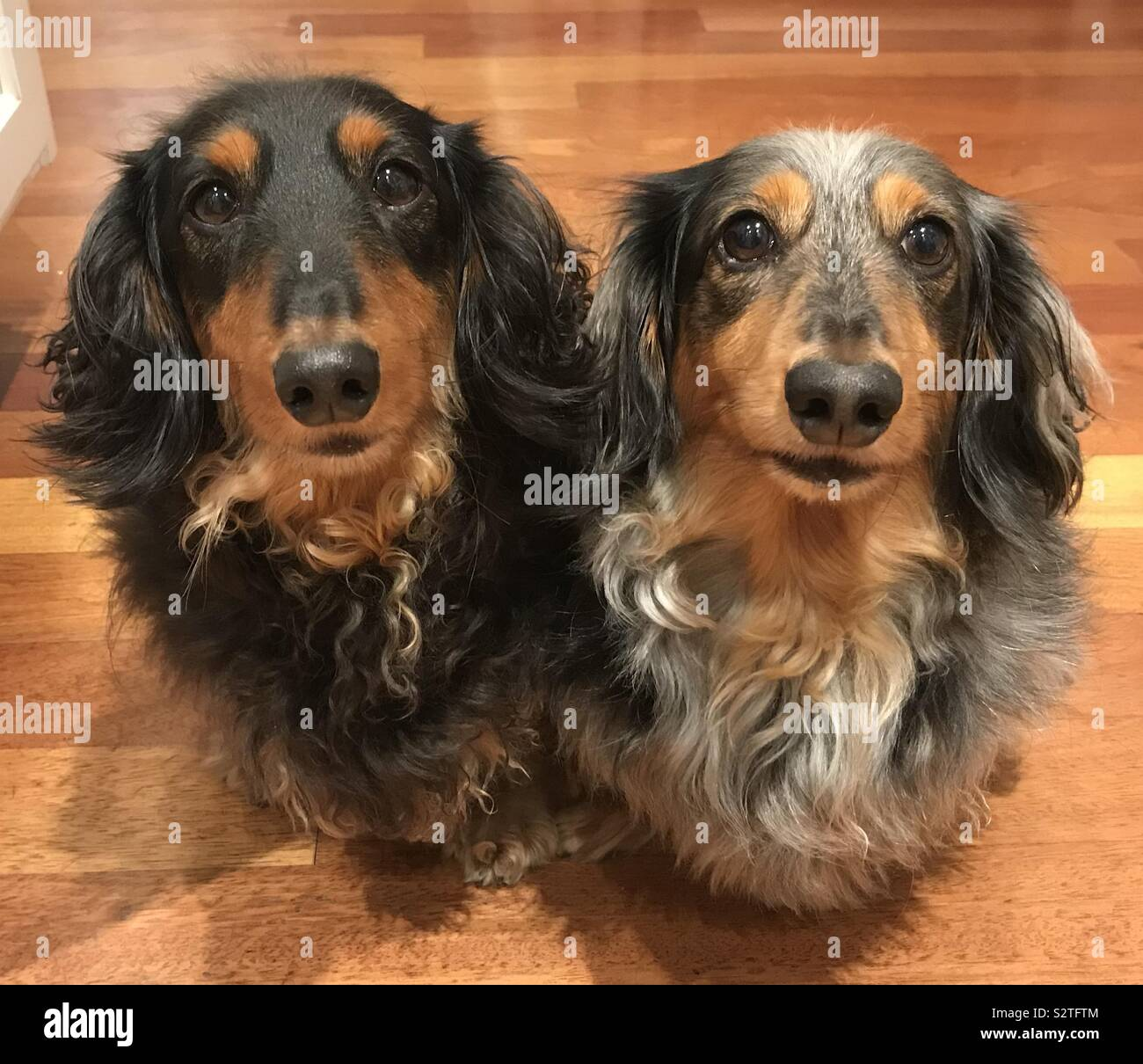 Darwin and Leo the miniature longhaired dachshunds Stock Photo