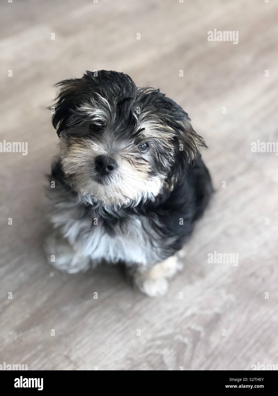 Morkie High Resolution Stock Photography And Images Alamy