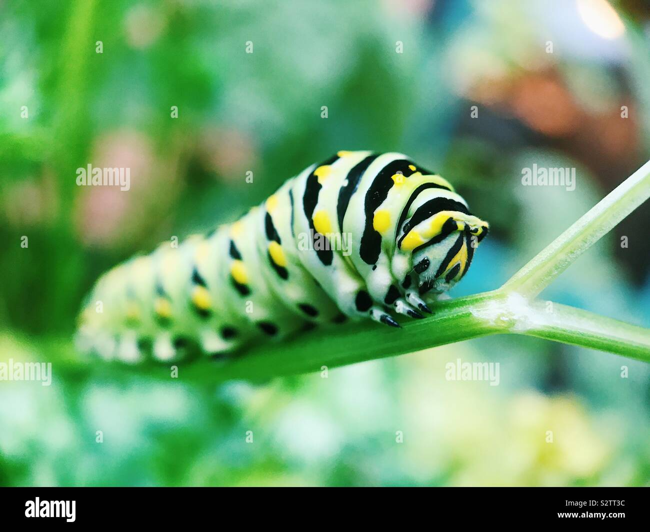 Macro of a swallowtail caterpillar resting on a parsley plant in New Jersey, USA. Stock Photo