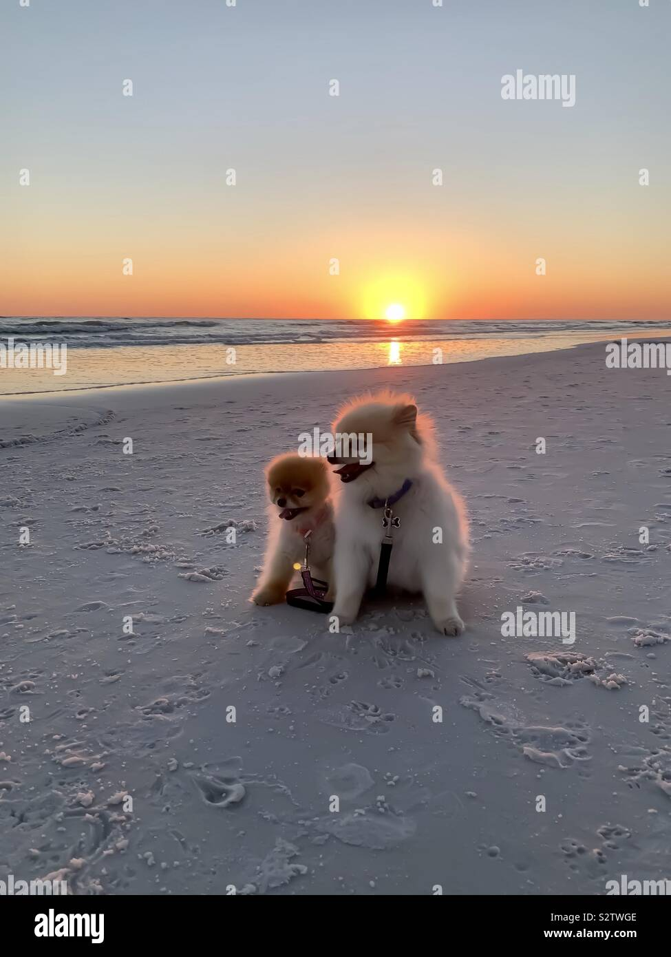 Sunset on the beach with two adorable dogs Stock Photo