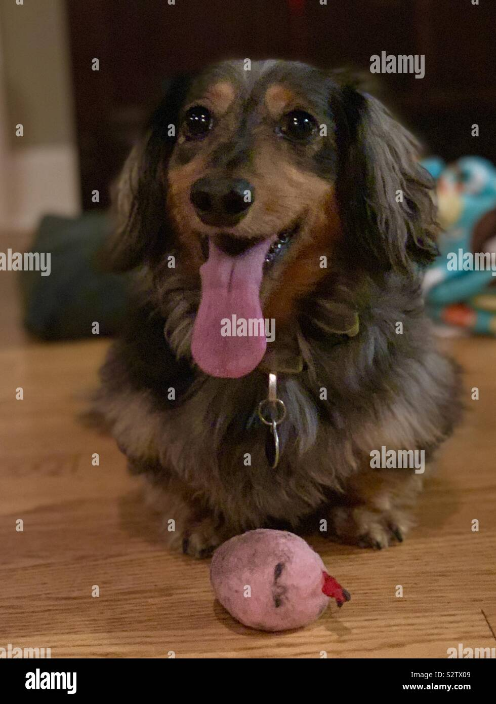 Leo the miniature longhaired dachsund Stock Photo