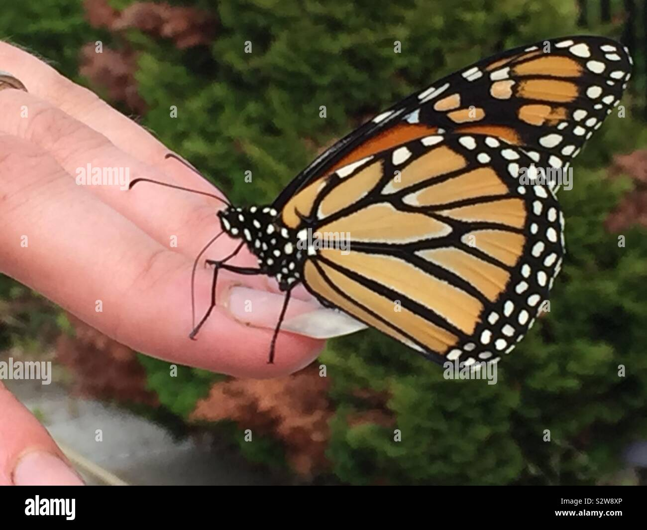 A monarch butterfly on a woman's finger. Stock Photo