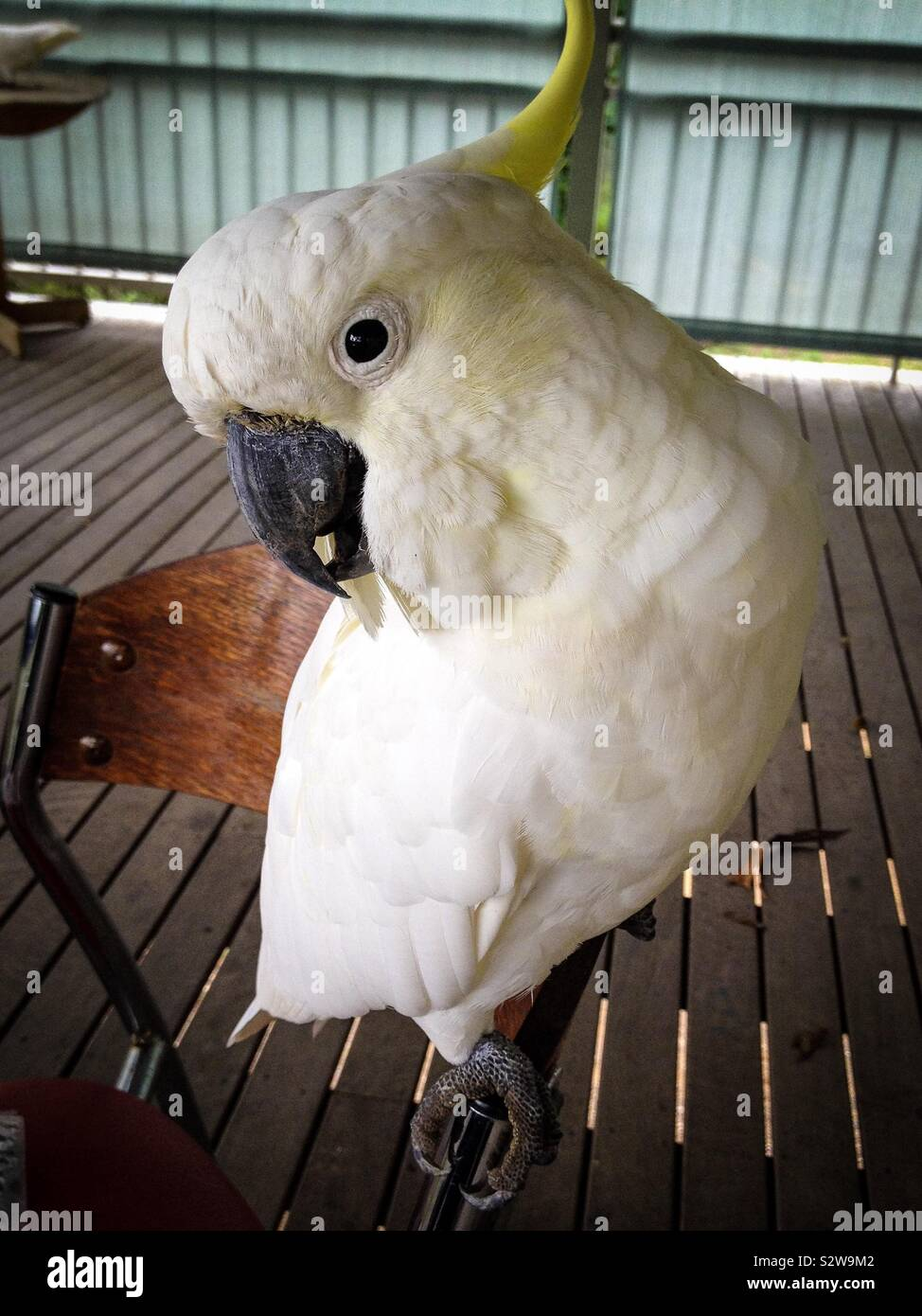 A cheeky and tame native Australian yellow crested cockatoo bird saying g'day mate Stock Photo