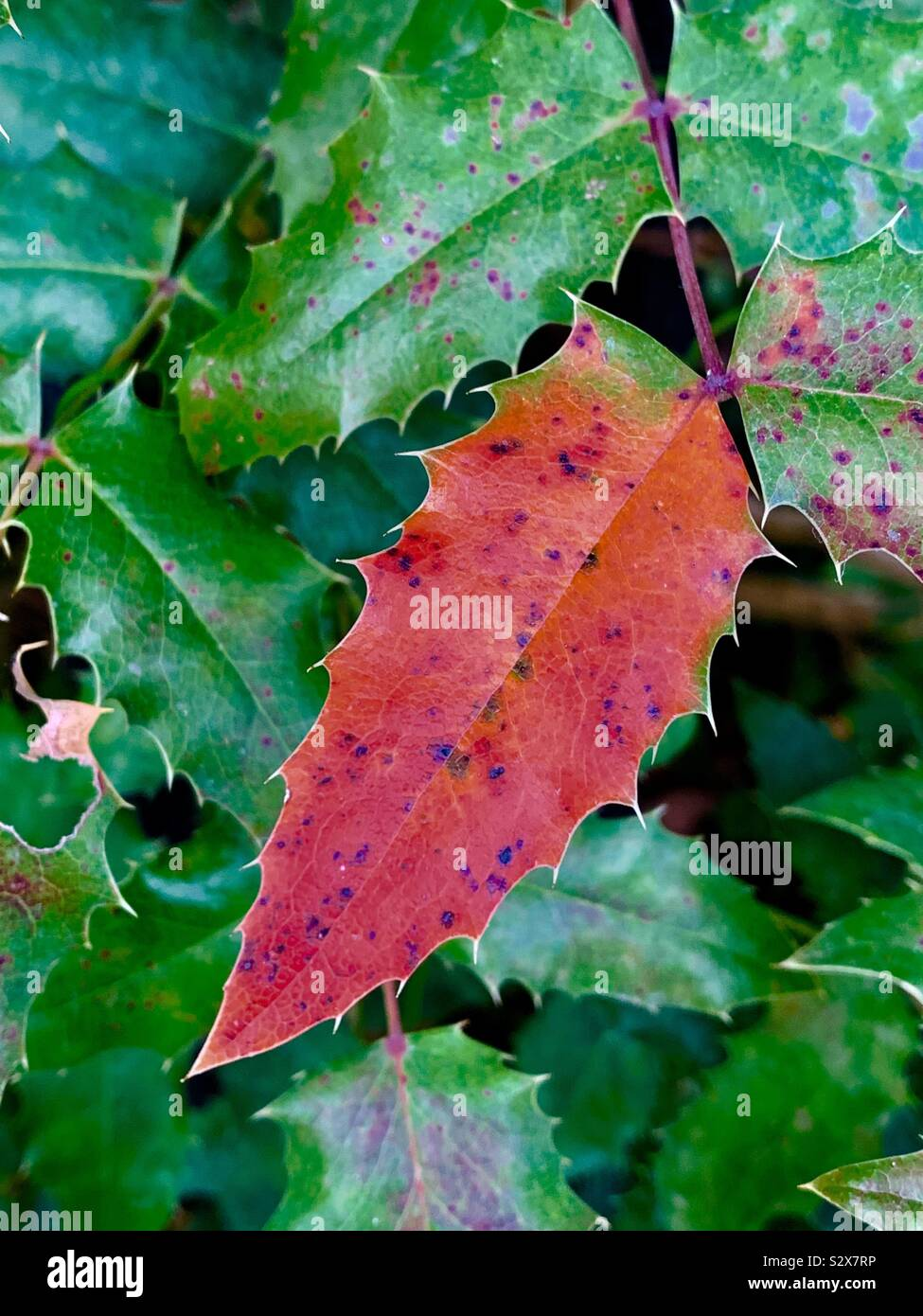 Keeping your identity among similar. Red leaf among green leaves Stock Photo