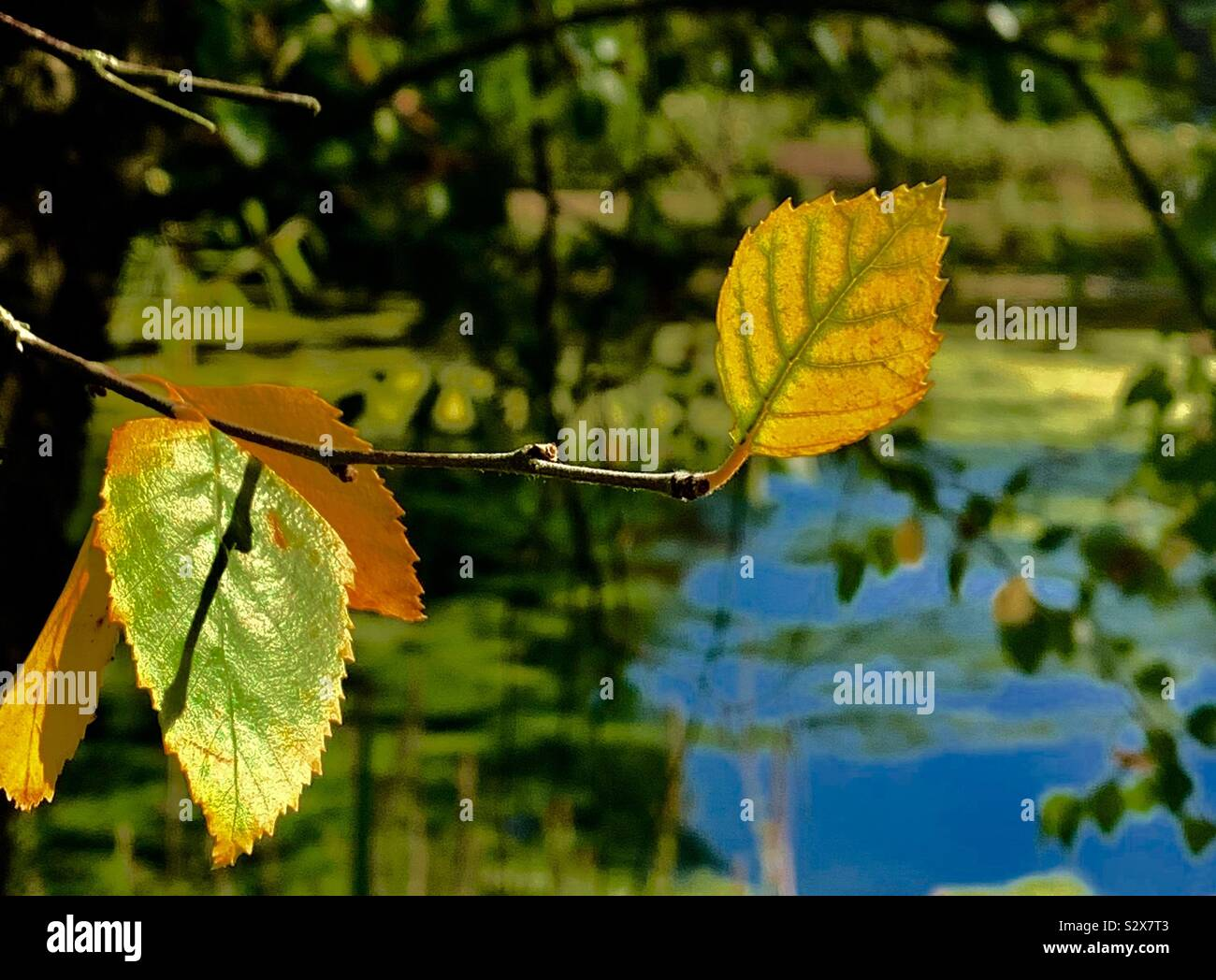 Autumn leaves before they leave the tree and land on the ground enjoying the last warm days happy on the tree branch Stock Photo