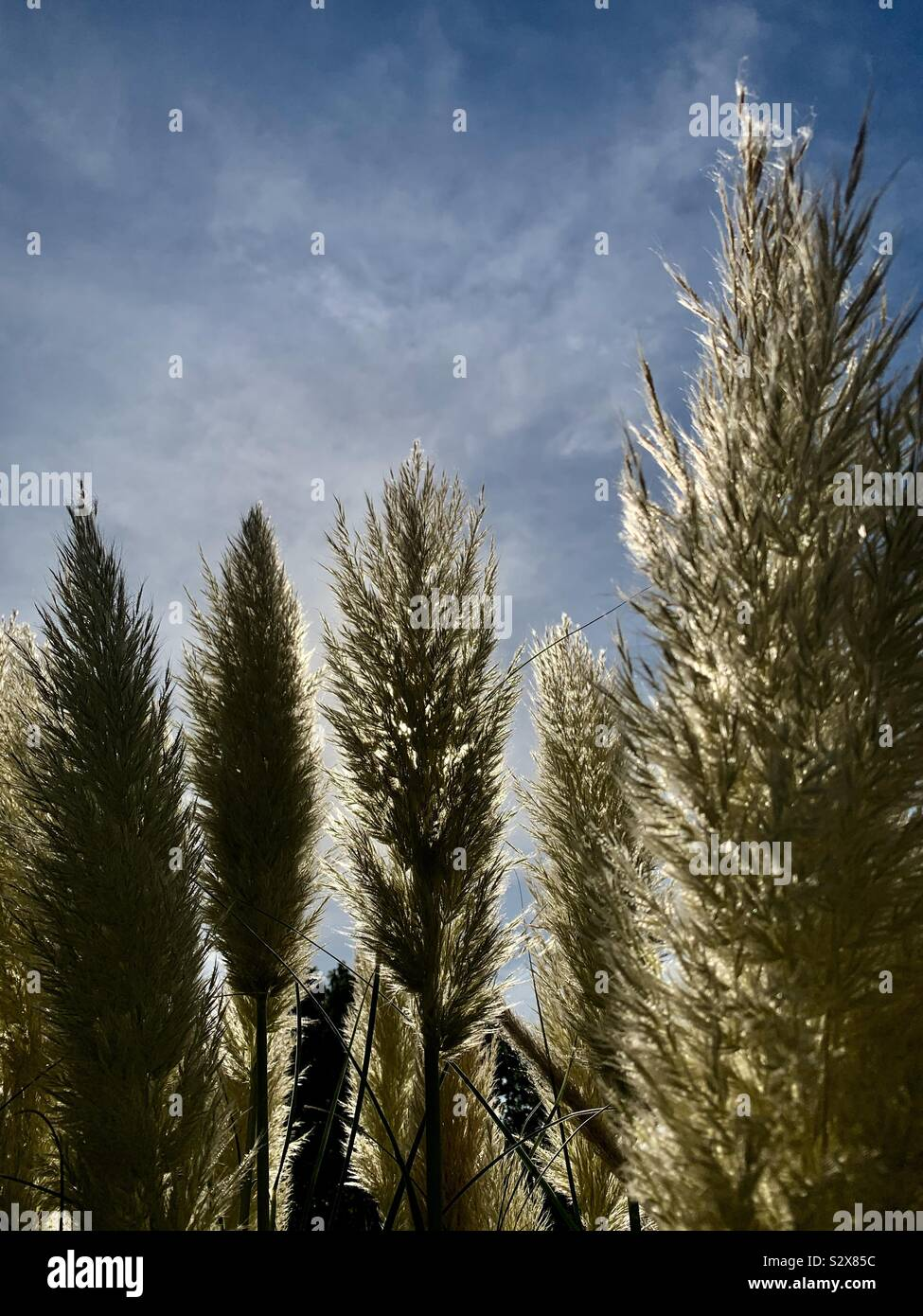 Wild plants aligned in the form of poplars as they sun sets Stock Photo