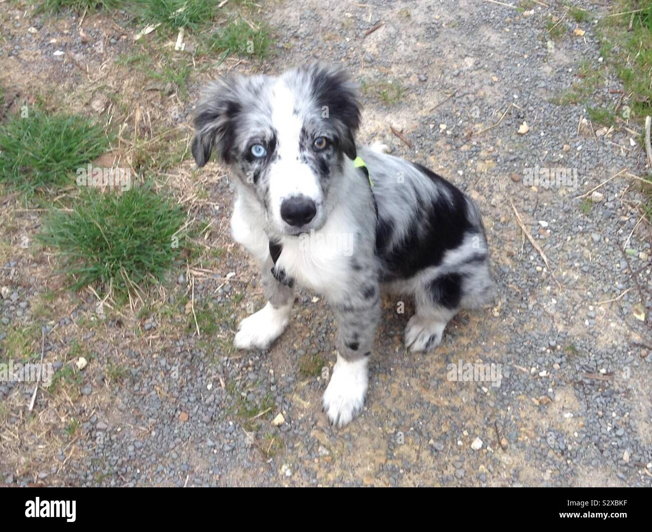 Blue Merle Border Collie Puppy Stock Photo Alamy