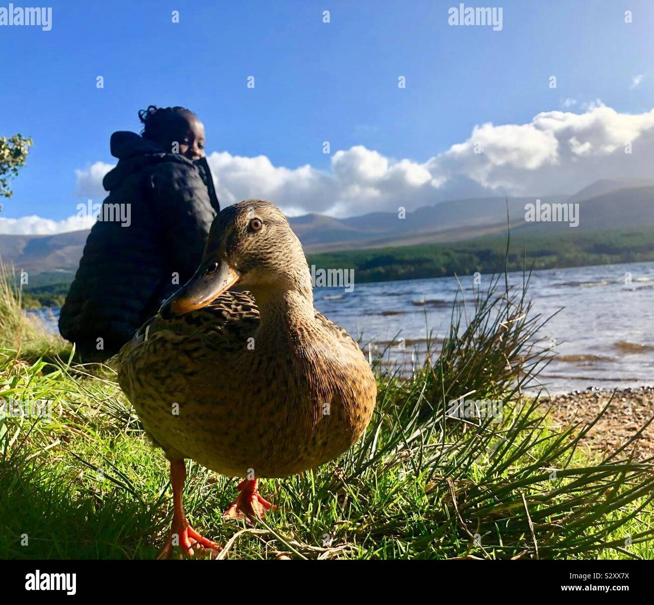 Duck saying hello next to Loch Morlich in the Cairngorms Scotland Stock Photo