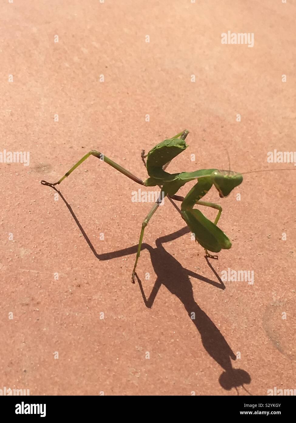 Praying Mantis Dance Stock Photo