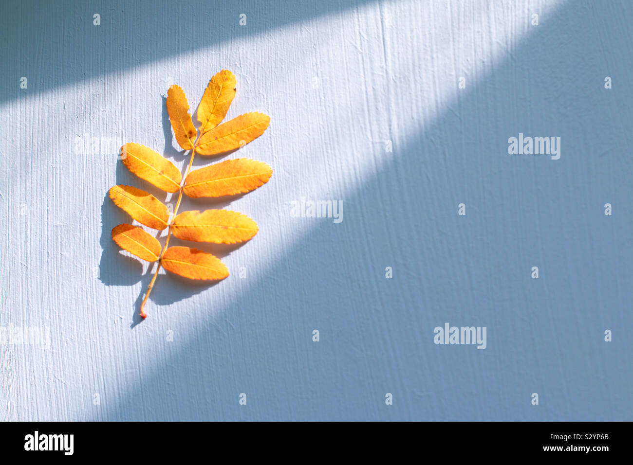 Rowanberry yellow leaf with space for text Stock Photo