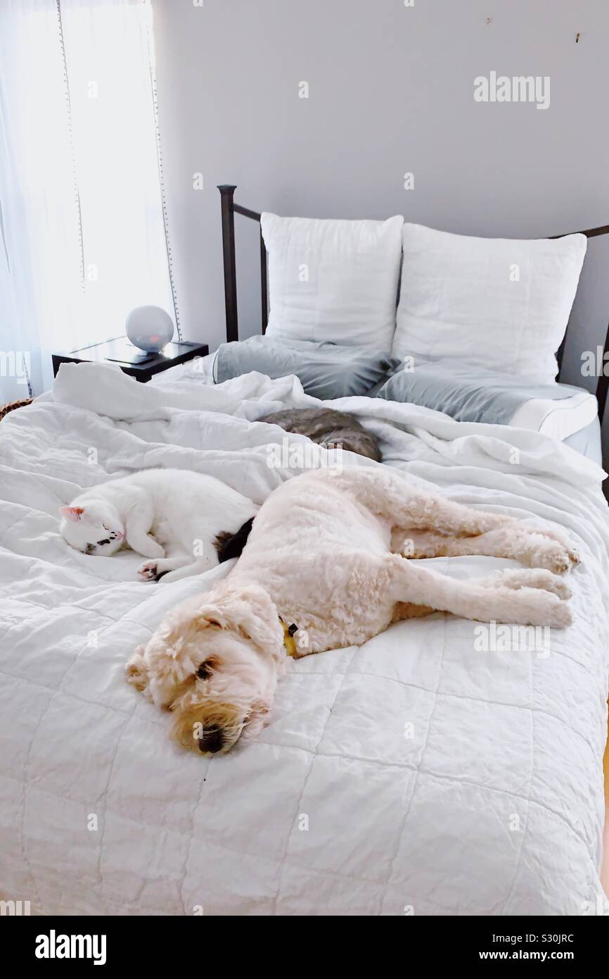 Two cats and a goldendoodle dog sleep on a bed late into the morning. Stock Photo