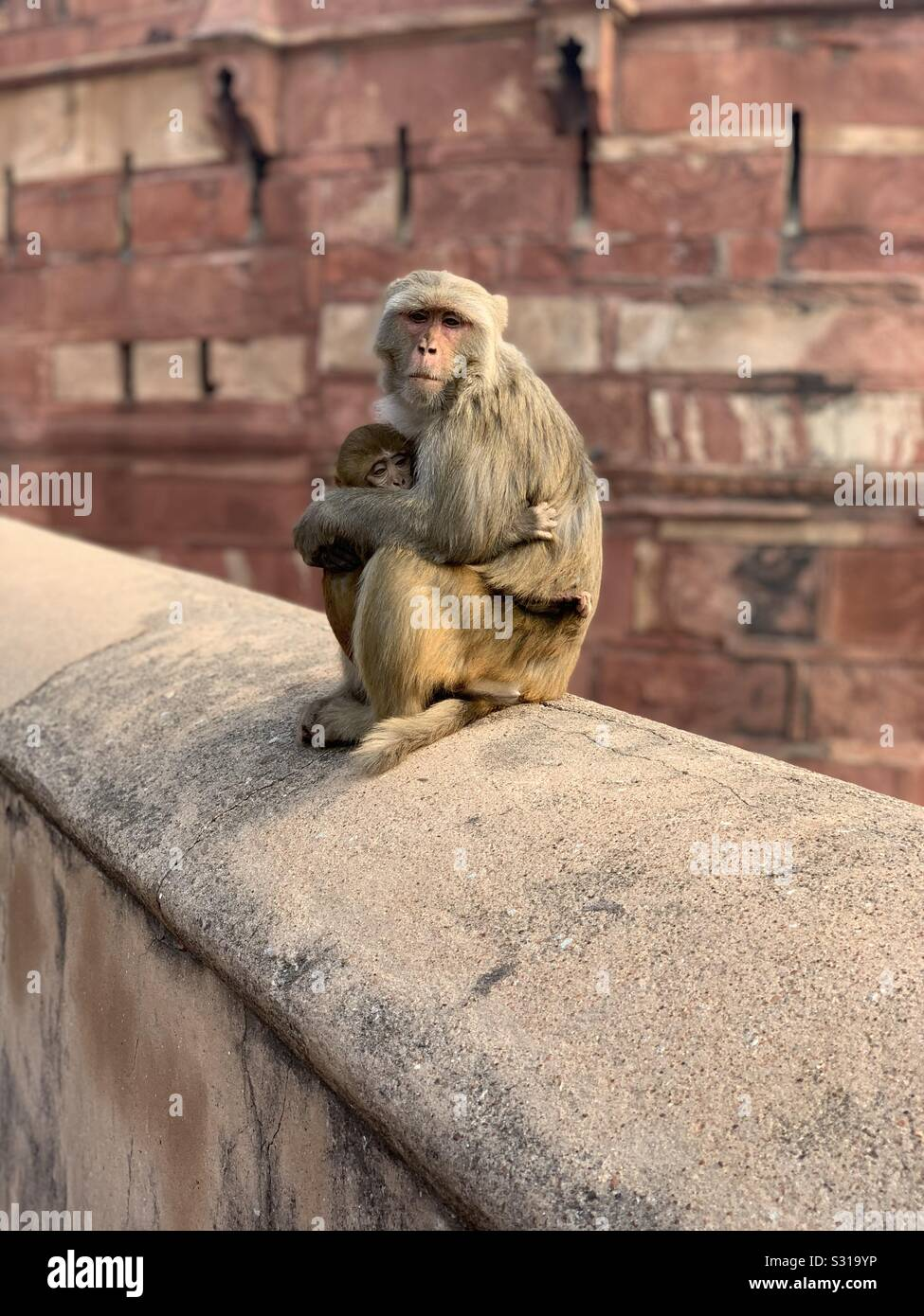 A mother and child rhesus macaque sitting on a wall in India Stock Photo