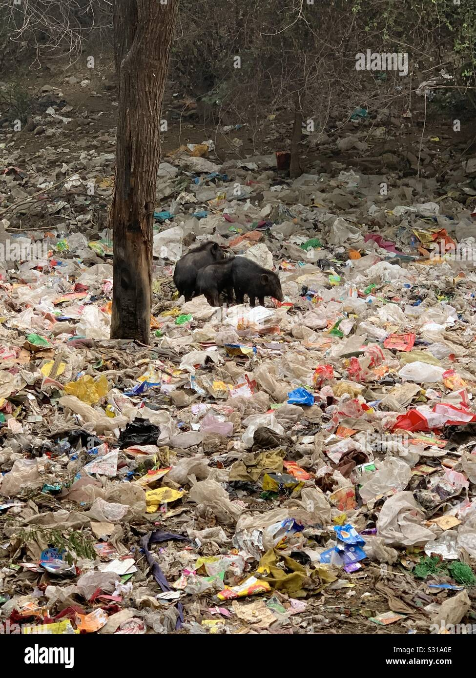 Wild boars in a field of discarded plastic waste Stock Photo