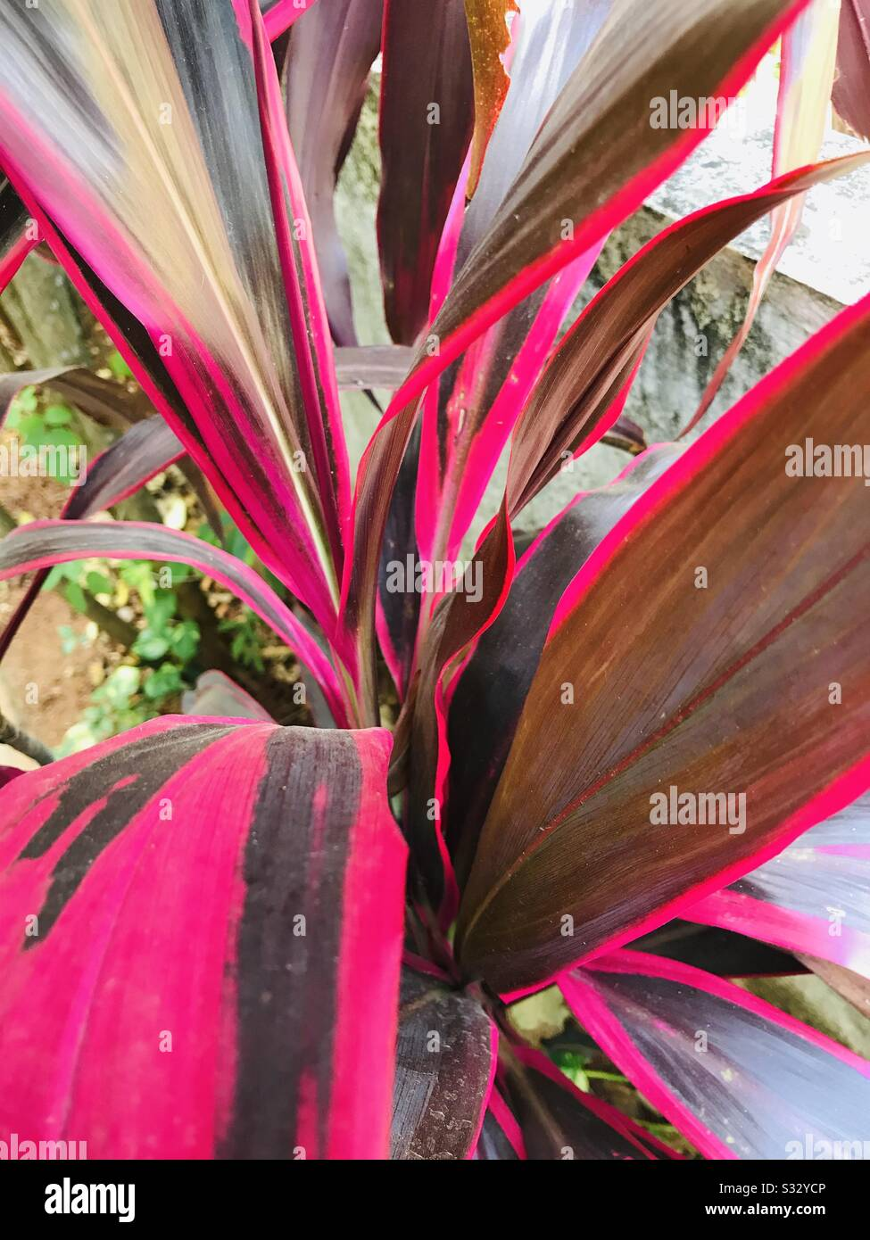 Red Sister Cordyline Terminalis Dracaena Ti Plant In My Mom S Garden In India Aka Red Leaf Croton Plant Ornamental Indoor Plants Stock Photo Alamy