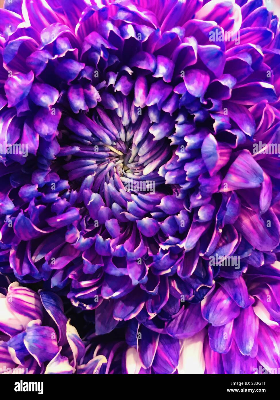 Vibrant Colourful Purple Peacock Coloured Hybrid Chrysanthemum Flower Embroidery Pattern Flower Like Glass Painting Close Up Pic Purple Flower Violet Flower Stock Photo Alamy