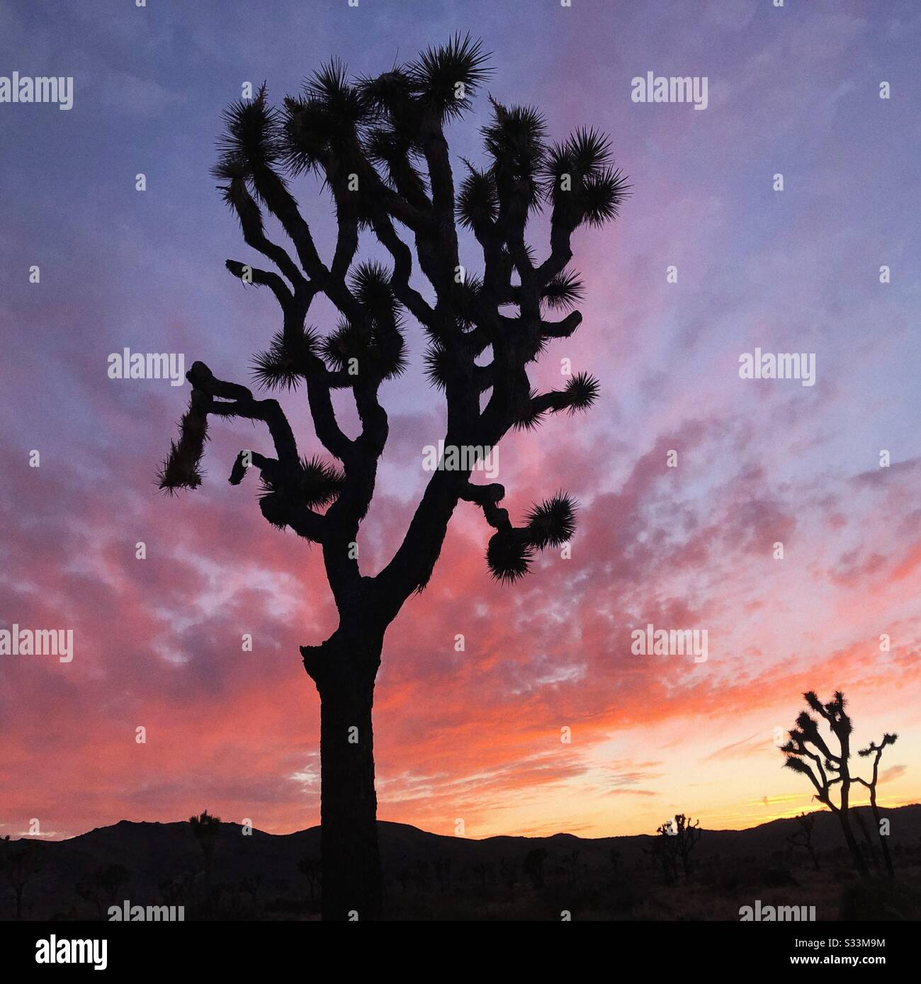Pink And Purple Sunset At Joshua Tree National Park In California Stock Photo Alamy