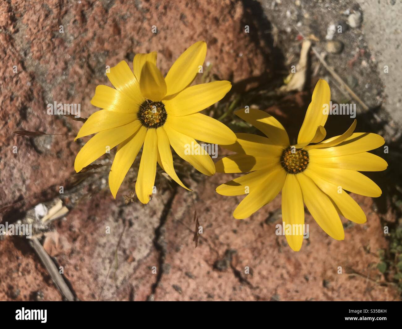 Closeup Two Yellow Flowers Brown Centers Growing Around Bricks Daisy Like Nature Natural Downward Angle Stock Photo Alamy The latest version daisy brown 2 tones color contacts, light color match bring you fresh spring. alamy