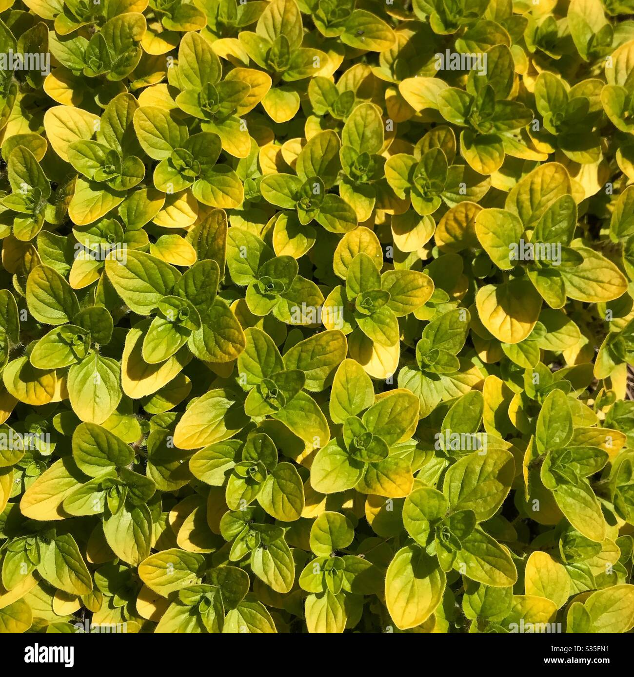 6 Marjoram Gold Tipped herb Plants