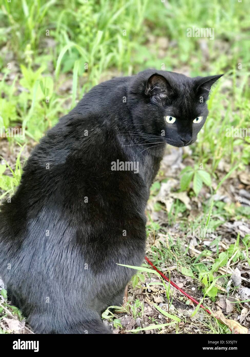 Portrait Of Beautiful Bombay Cat With Gorgeous Green Eyes Spayed Female Rescue Companion Pet Domestic Or American Shorthair Black Cat Taking A Walk On Leash Stock Photo Alamy