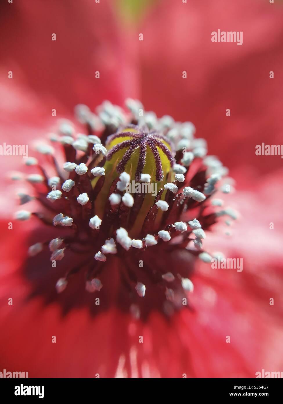 Macro of rough poppy. Papaver hybridum. Stock Photo