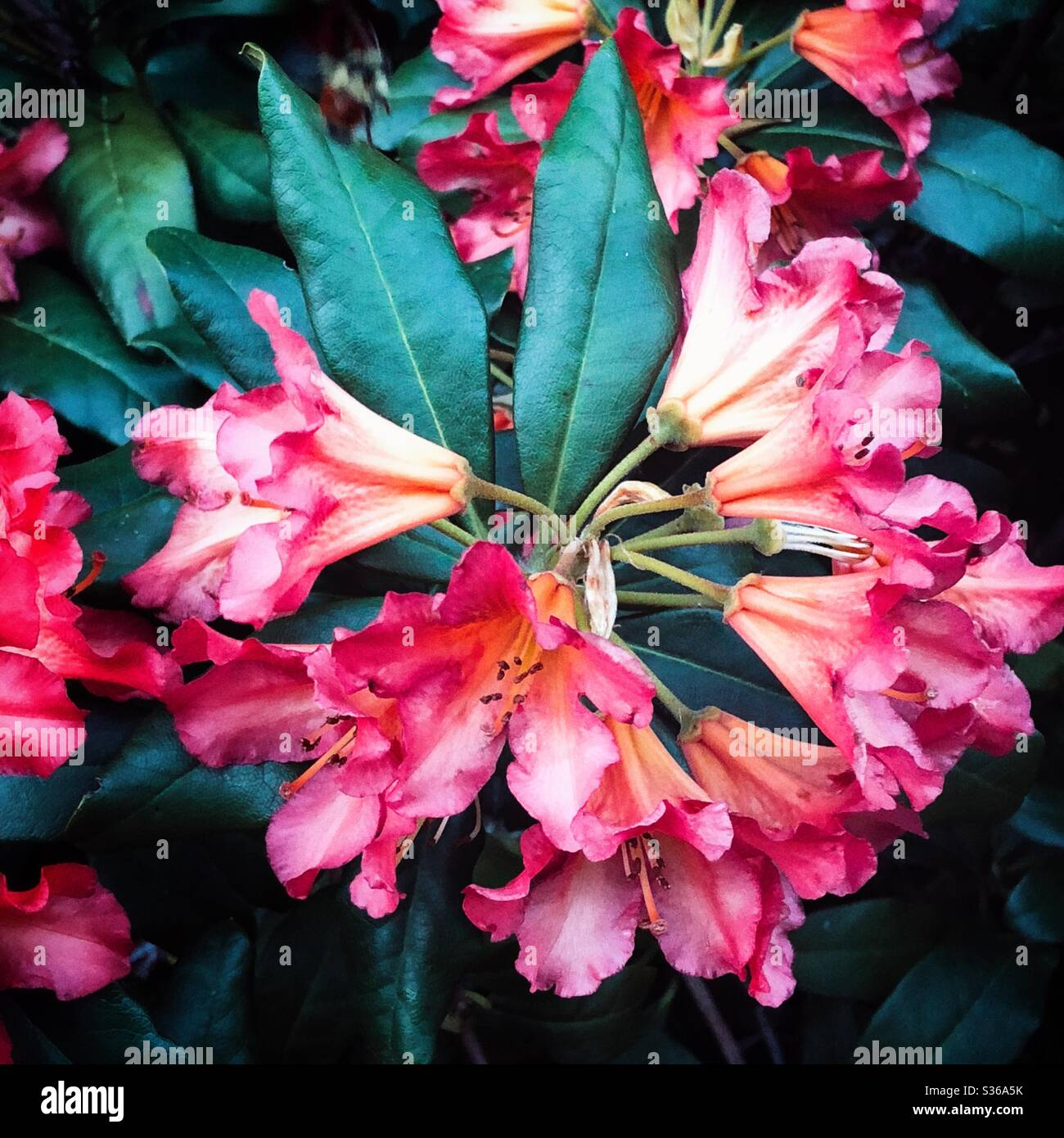Beautiful magenta rhododendrons Stock Photo