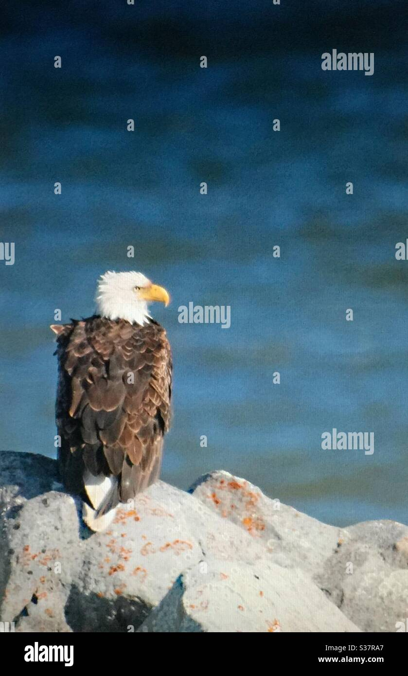 North American Birds Birds Of North America Bald Eagle Birds Of Prey Raptor Bird Nature Woods Forest Feathers Flight Nature Lover Stock Photo Alamy