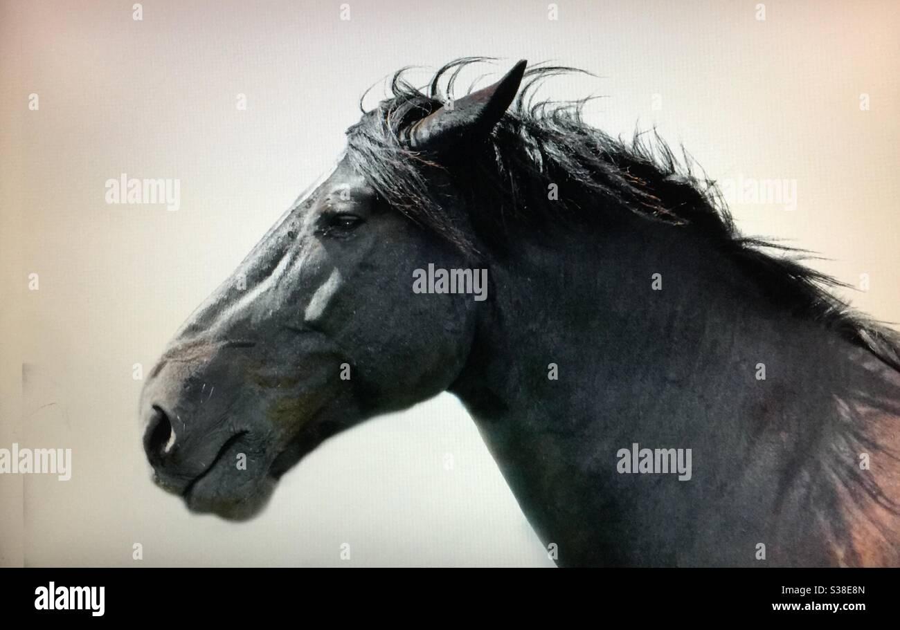 Percheron Horse Head Shot Profile Portrait Draft Horse Heavy Horse Stock Photo Alamy